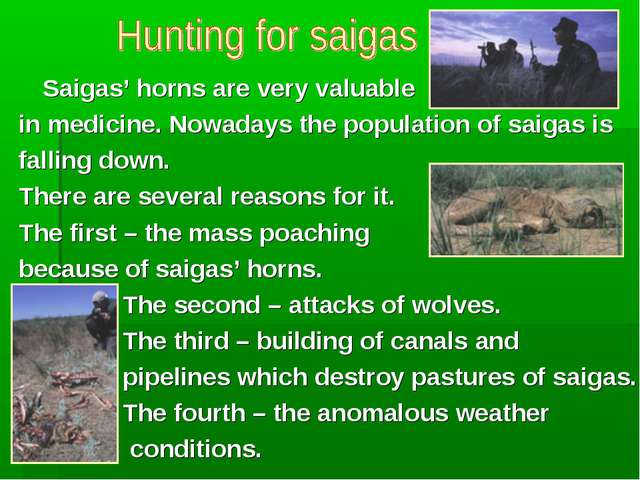 Saigas' horns are very valuable in medicine. Nowadays the population of saig...