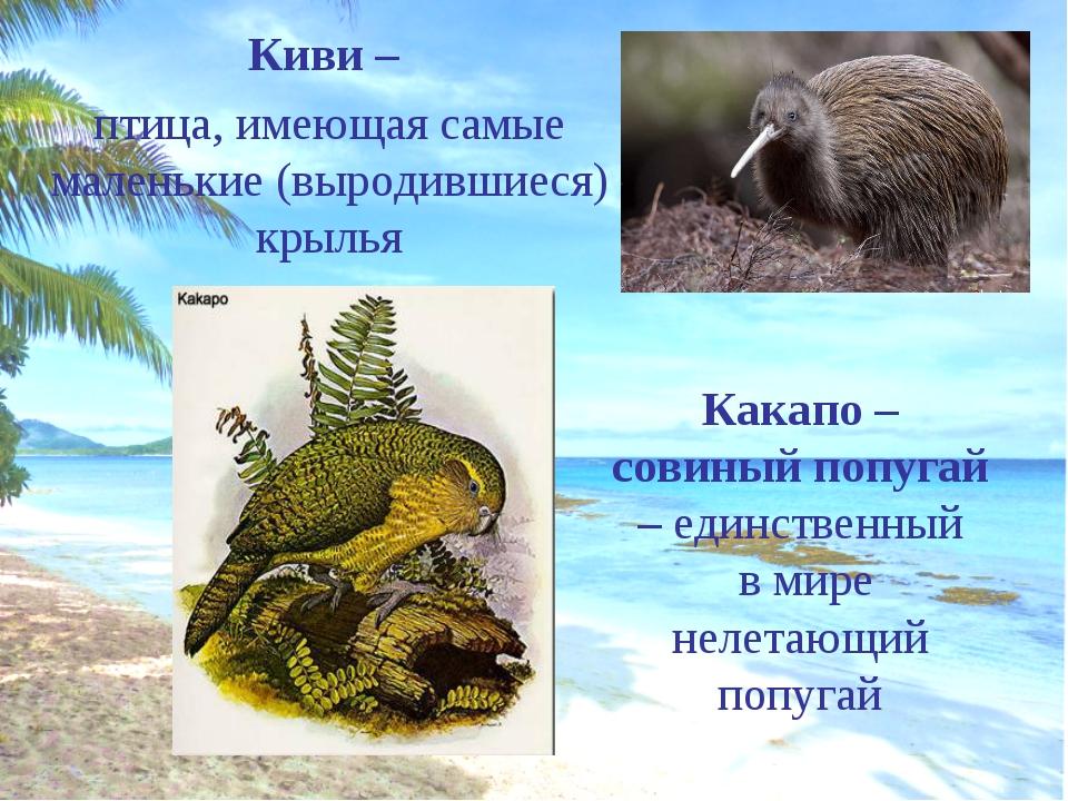 Киви – птица, имеющая самые маленькие (выродившиеся) крылья Какапо – совиный...