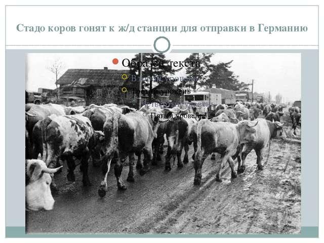 Стадо коров гонят к ж/д станции для отправки в Германию