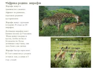Жирафы живут в травянистых саваннах Африки- на равнинах, поросших редкими кус