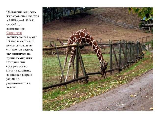 Общая численность жирафов оценивается в 110000—150 000 особей. В заповеднике...