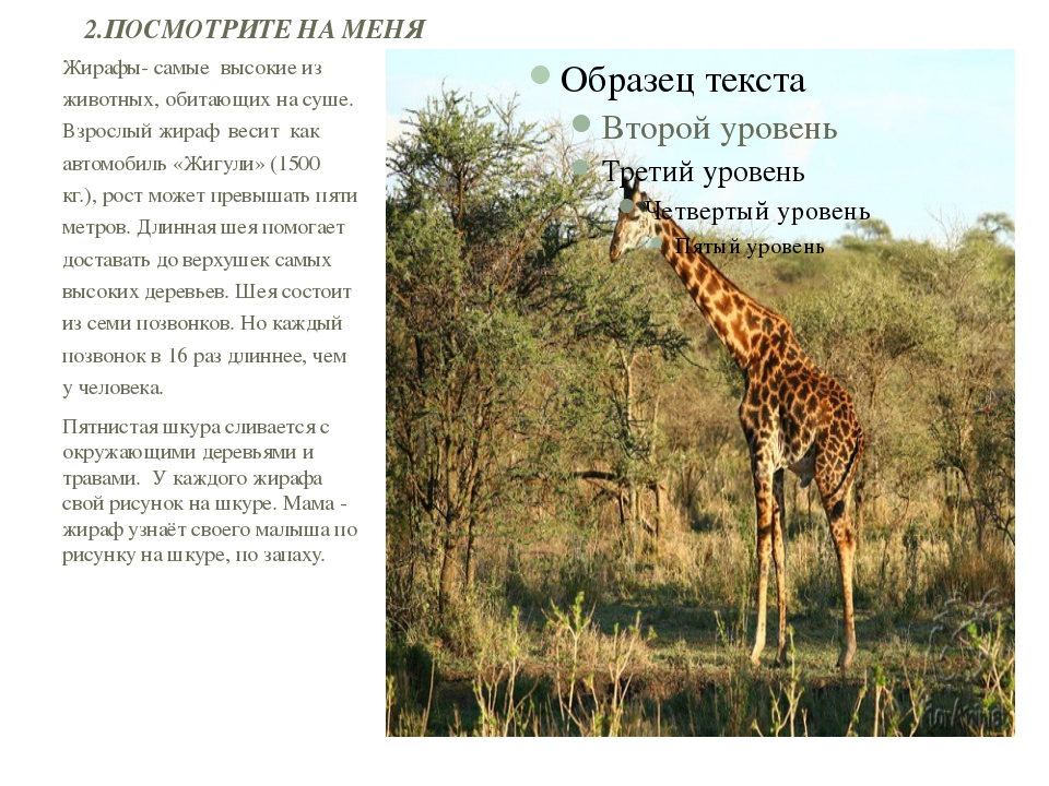 Жирафы- самые высокие из животных, обитающих на суше. Взрослый жираф весит ка...