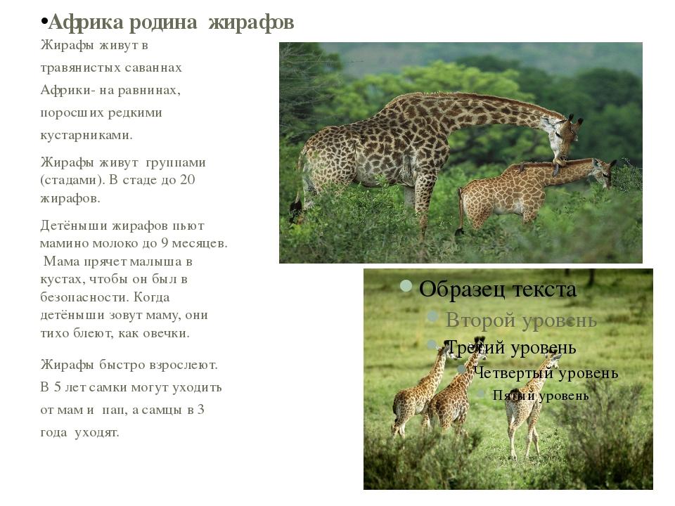 Жирафы живут в травянистых саваннах Африки- на равнинах, поросших редкими кус...