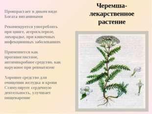 Черемша-лекарственное растение Произрастает в диком виде Богата витаминами Ре
