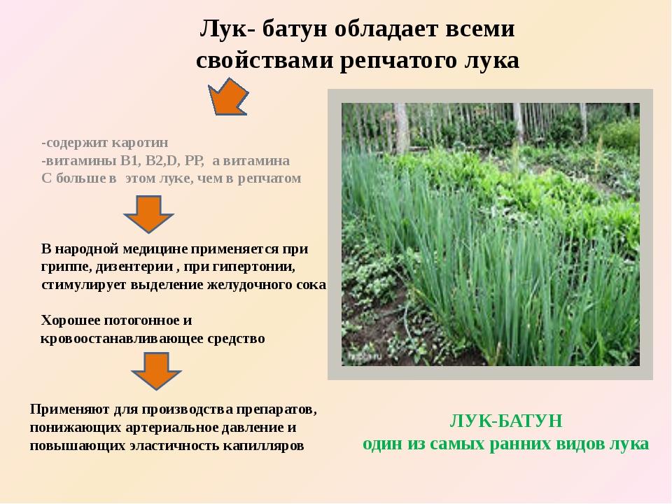Лук- батун обладает всеми свойствами репчатого лука -содержит каротин -витами...