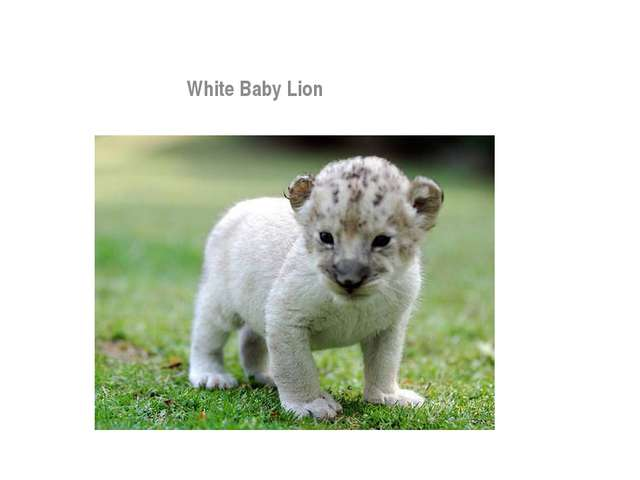 Animals White Baby Lion White Baby Lion