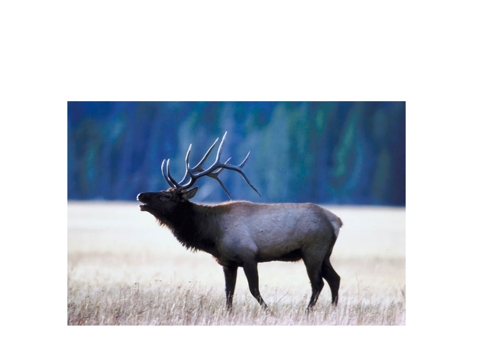 Animals Elk
