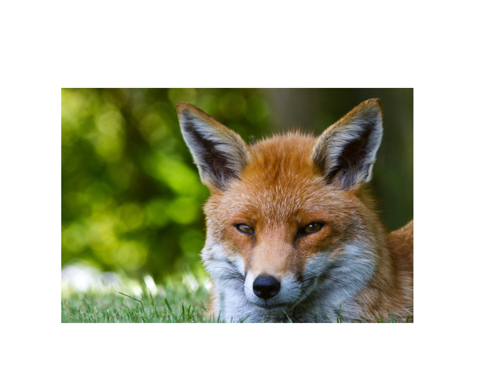 Animals Red fox