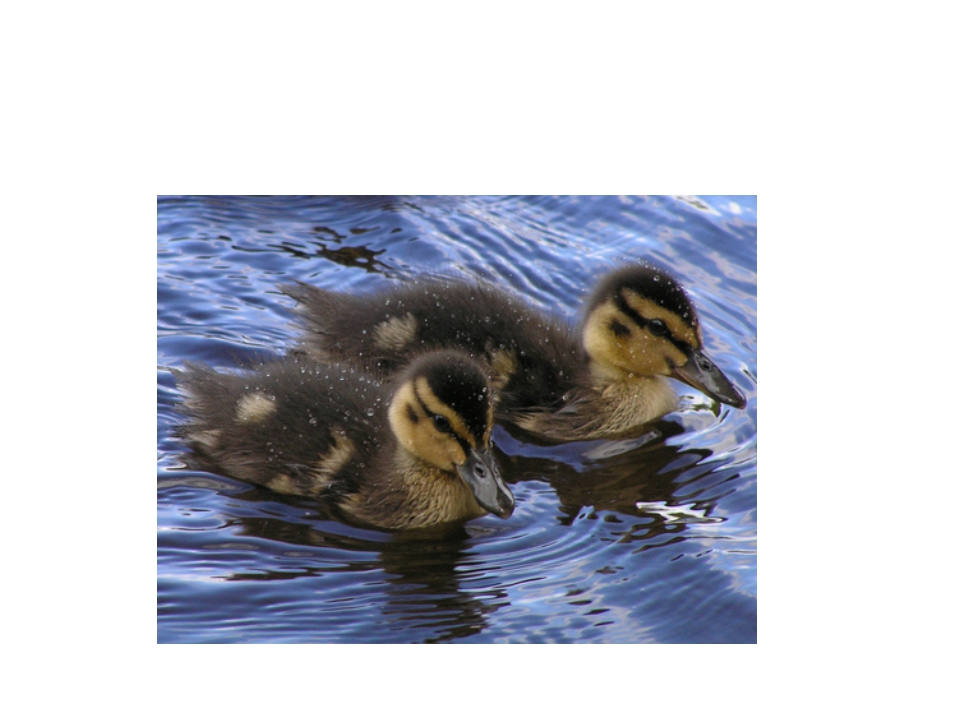 Animals Ducklings
