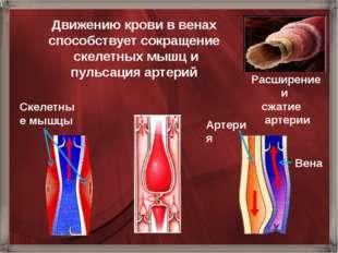 Расширение и сжатие артерии Движению крови в венах способствует сокращение ск