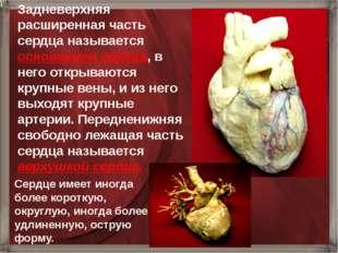 Задневерхняя расширенная часть сердца называется основанием сердца, в него от