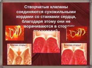Створчатые клапаны соединяются сухожильными хордами со станками сердца, благо