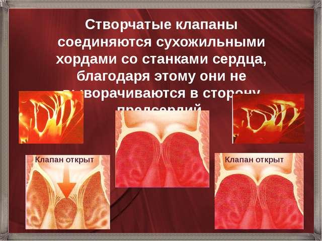 Створчатые клапаны соединяются сухожильными хордами со станками сердца, благо...