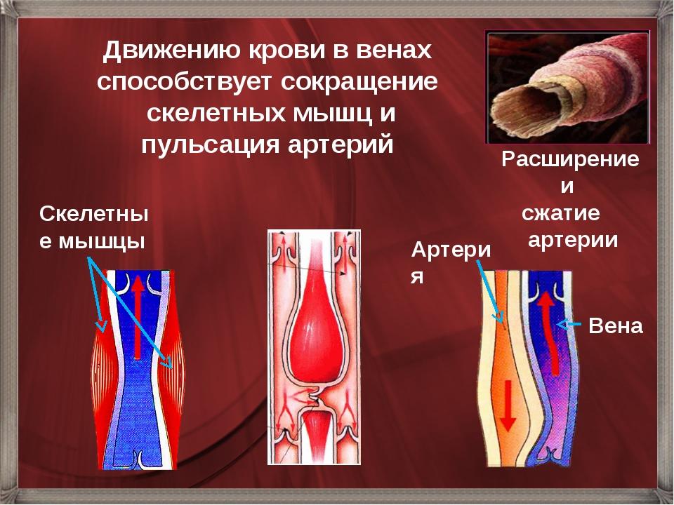 Расширение и сжатие артерии Движению крови в венах способствует сокращение ск...