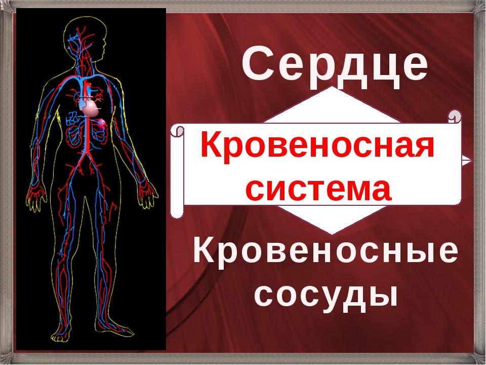 Сердце Кровеносные сосуды Кровеносная система