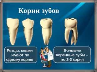 Резцы, клыки имеют по одному корню Большие коренные зубы – по 2-3 корня Корни