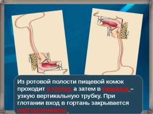 Из ротовой полости пищевой комок проходит в глотку, а затем в пищевод – узкую