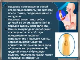 Пищевод представляет собой отдел пищеварительной системы после глотки, соедин