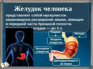 представляет собой мускулистое мешковидное расширение кишки, лежащее в перед