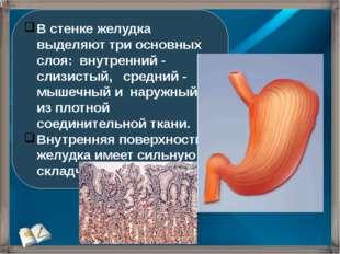 В стенке желудка выделяют три основных слоя: внутренний - слизистый, средний