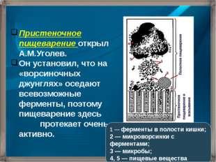 Пристеночное пищеварение открыл А.М.Уголев. Он установил, что на «ворсиночных