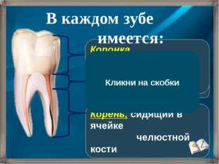 Корень, сидящий в ячейке челюстной кости Шейка, погруженная в десну Коронка,