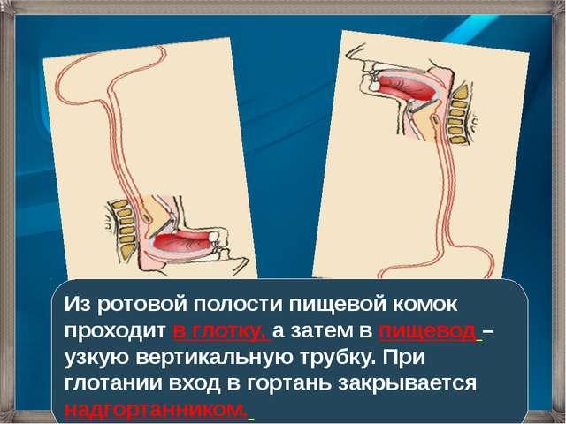 Из ротовой полости пищевой комок проходит в глотку, а затем в пищевод – узкую...