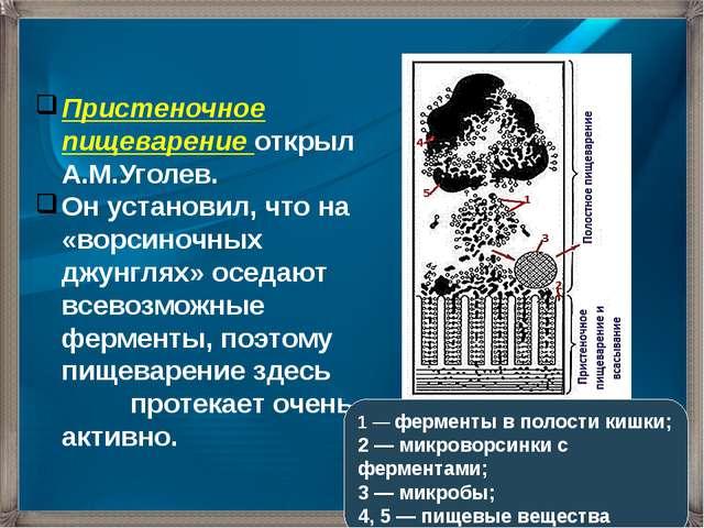 Пристеночное пищеварение открыл А.М.Уголев. Он установил, что на «ворсиночных...