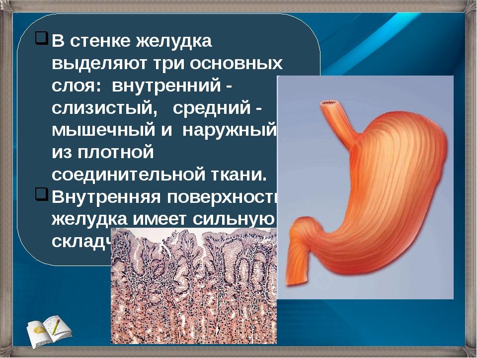 В стенке желудка выделяют три основных слоя: внутренний - слизистый, средний...