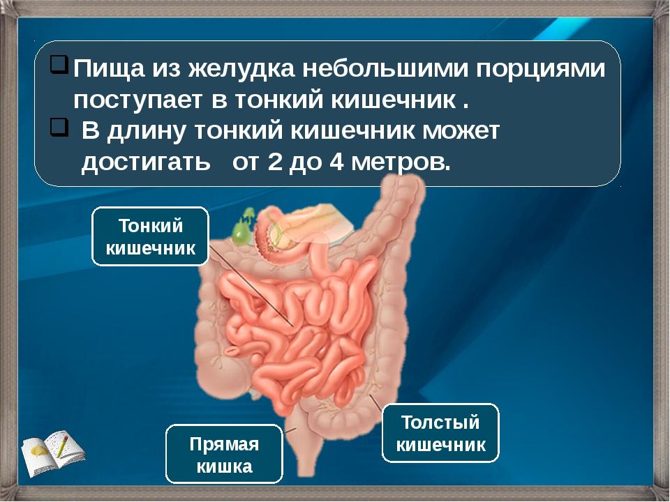 Пища из желудка небольшими порциями поступает в тонкий кишечник . В длину тон...
