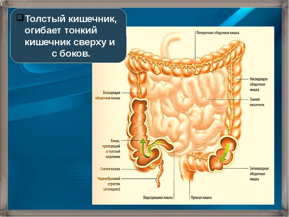 Толстый кишечник, огибает тонкий кишечник сверху и с боков.