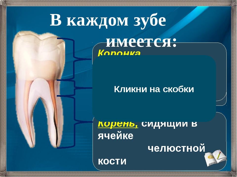 Корень, сидящий в ячейке челюстной кости Шейка, погруженная в десну Коронка,...