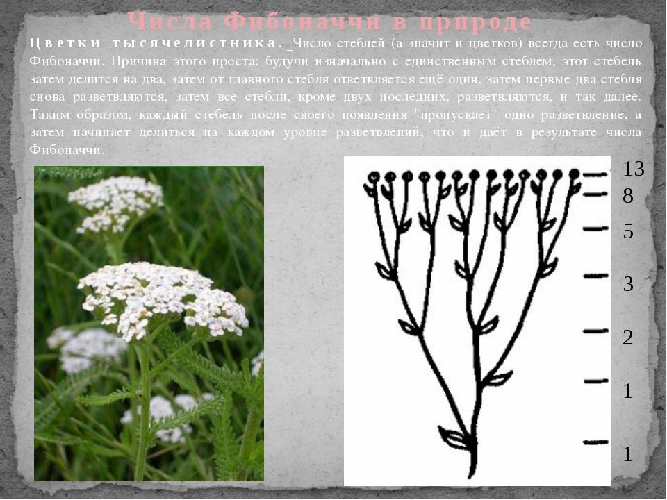 Числа Фибоначчи в природе Цветки тысячелистника. Число стеблей (а значит и цв...