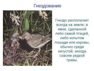 Гнездо располагает всегда на земле: в ямке, сделанной либо самой птицей, либо