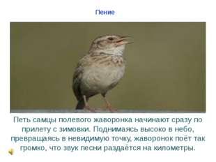 Пение Петь самцы полевого жаворонка начинают сразу по прилету с зимовки. Подн