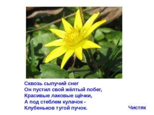 Сквозь сыпучий снег Он пустил свой жёлтый побег, Красивые лаковые щёчки, А по
