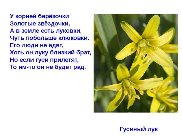 У корней берёзочки Золотые звёздочки, А в земле есть луковки, Чуть побольше к...