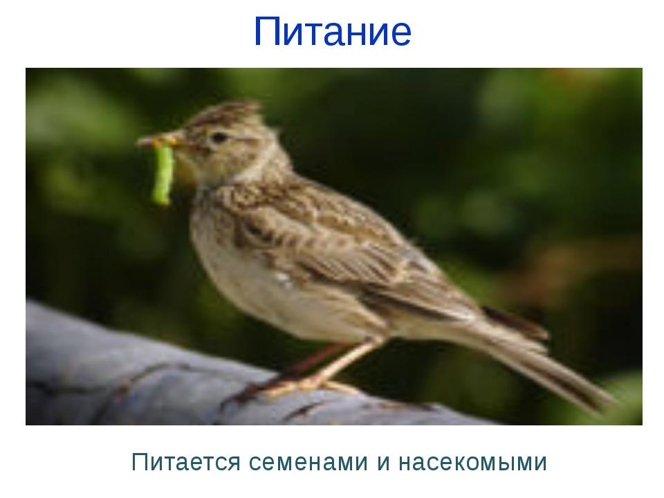 Питание Питается семенами и насекомыми