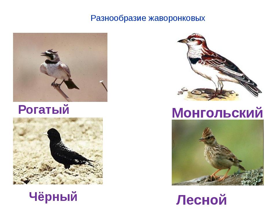 Разнообразие жаворонковых Рогатый жаворонок Монгольский жаворонок Чёрный жав...