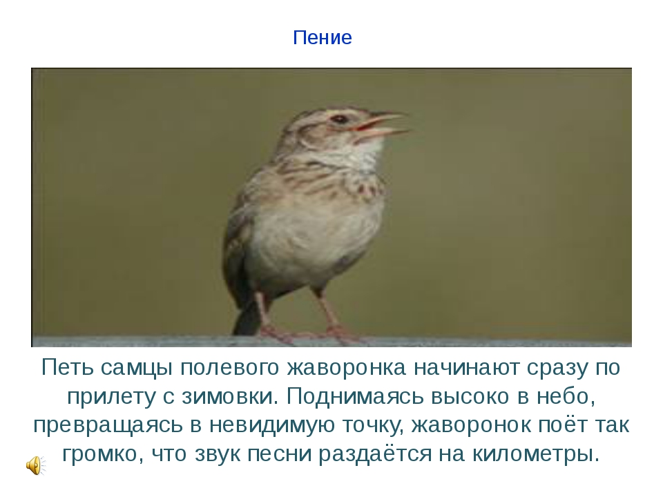 Пение Петь самцы полевого жаворонка начинают сразу по прилету с зимовки. Подн...