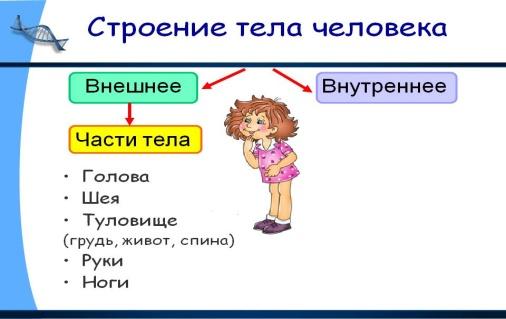 C:\Users\Людмила\Desktop\0005-005-Stroenie-tela-cheloveka.jpg