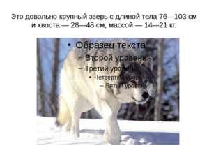 Это довольно крупный зверь с длиной тела 76—103 см и хвоста — 28—48 см, массо