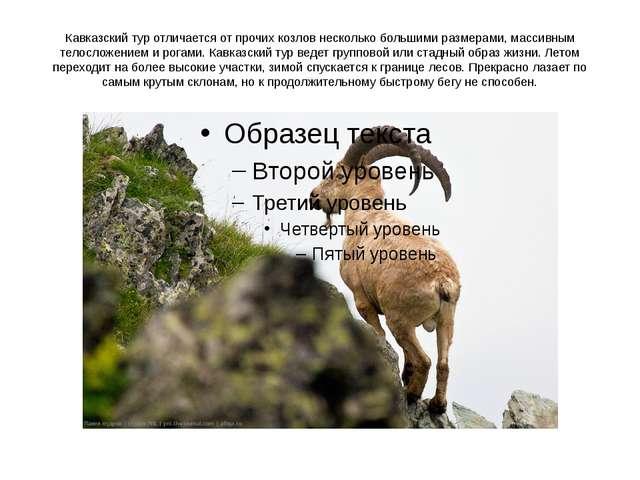 Кавказский тур отличается от прочих козлов несколько большими размерами, масс...