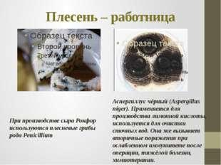 Плесень – работница При производстве сыра Рокфор используются плесневые грибы