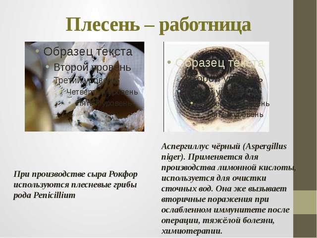 Плесень – работница При производстве сыра Рокфор используются плесневые грибы...