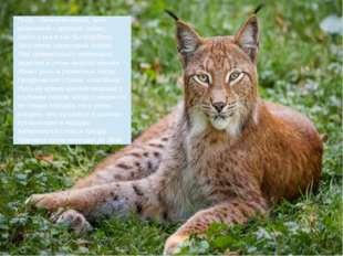 Рысь - типичная кошка, хотя величиной с крупную собаку. Хвост у рыси как бы