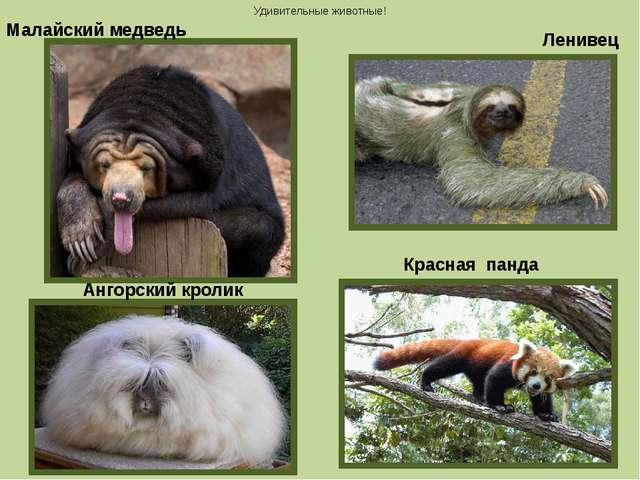 Малайский медведь Ангорский кролик Красная панда Ленивец Удивительные животные!