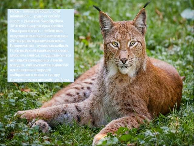 Рысь - типичная кошка, хотя величиной с крупную собаку. Хвост у рыси как бы...