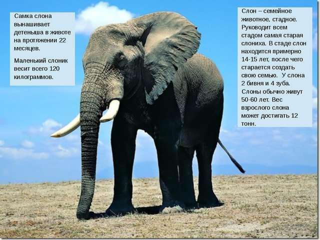Слон – семейное животное, стадное. Руководит всем стадом самая стараяслониха...