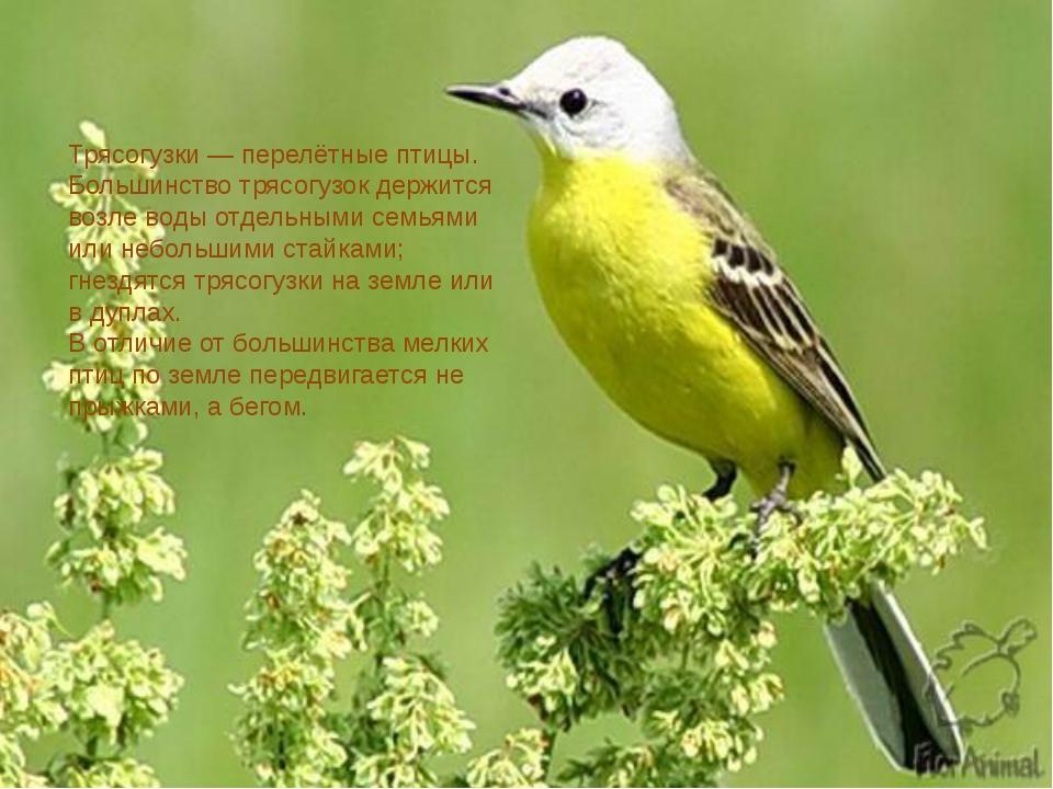 Трясогузки— перелётные птицы. Большинство трясогузок держится возле воды от...